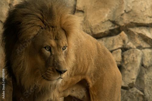 Fotobehang Lion Young Male Lion