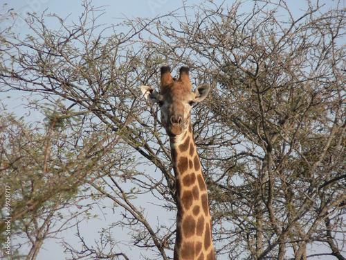 Girafe dans le parc Kruger-Afrique du sud