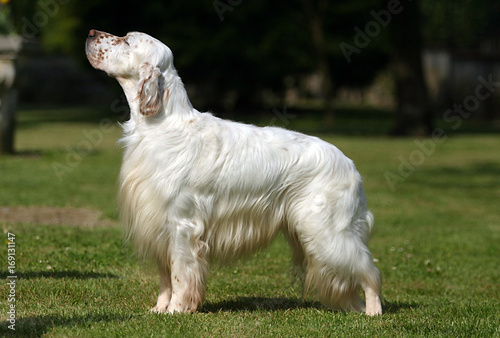 Foto op Plexiglas Gras English Setter dog
