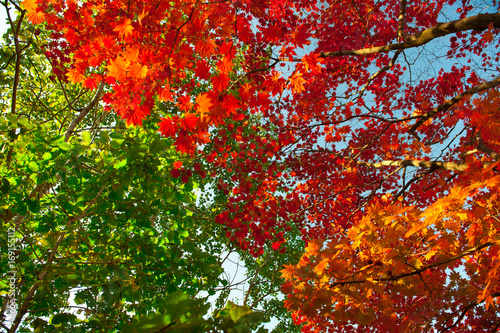 Fotobehang Rood paars Autumn colorful leaves