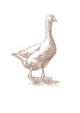 White live goose - 169167705