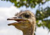 Profile, closeup, of ostrich head. - 169169921