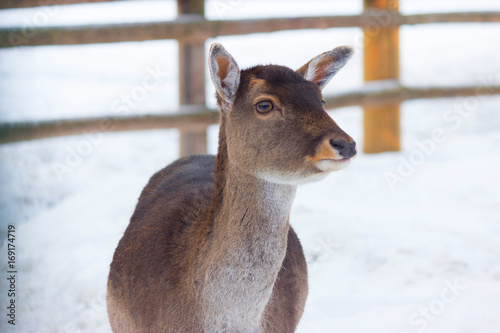 young deer without horns плакат