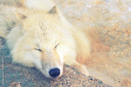 Aluminium Wolf white wolf sleep