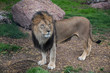 lion full length animal portrait in a natural environment