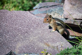 Squirrel on a rock, mountain environment - 169177501