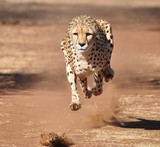 Running and exercising a cheetah, chasing a lure - 169178172