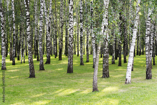 Fotobehang Berkenbos Birch forest. Birch Grove. White birch trunks