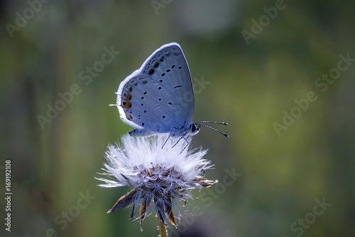 Fotobehang Vlinder Motyl ---modraszek