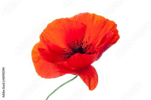 Foto op Canvas Rood wonderful isolated red poppy flower, white background. studio shot, closeup