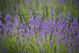 Lavender lilac flowers floral background - 169193116