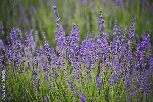 Fotobehang Lavendel Lavender lilac flowers floral background
