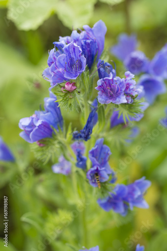 Phacelia - Bright blue flowers in a macro view of a meadow.
