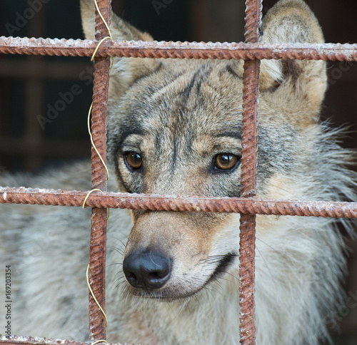 Aluminium Wolf Wolf in the cage