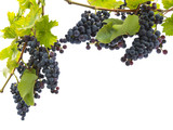 red grapes on a branch with leaves isolated on a white background - 169208304