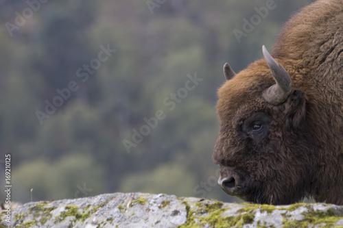 Fotobehang Bison European bison