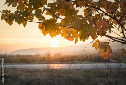 Autumn vine leaves. Sunrise and yellow vine leaves.