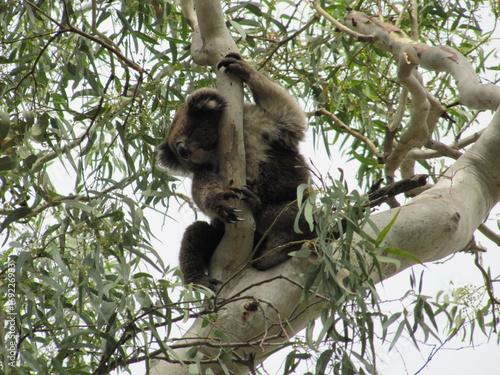 Koala en su ambiente natural