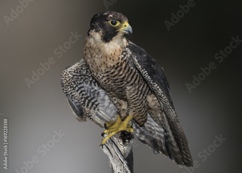Peregrine, Falcon (falco peregrinus) Perched and Ready to Hunt Poster