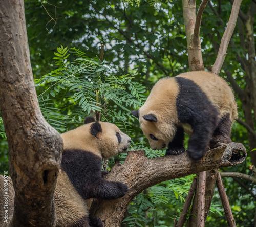 Fotobehang Panda Panda brothers