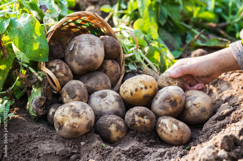 Farmer harvesting fresh potatoes.