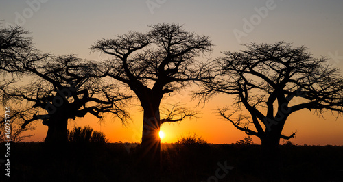 Aluminium Baobab Sunset with Baobab Trees in Savute Botswana