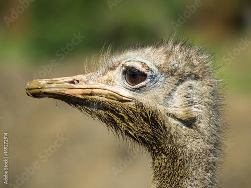 Juliste Cabeza de avestruz