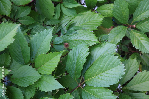 Maiden grapes five-leafed North American tree-like deciduous liana Poster