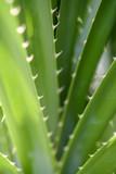 Close up of Pandanus tectorius in the garden