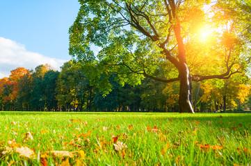 Autumn landscape. Autumn maple tree in sunny autumn park lit by sunlight -autumn tree in sunshine