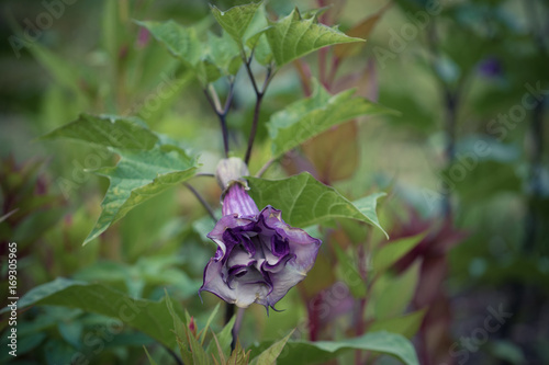 henbane purple flower on a background of green leaves