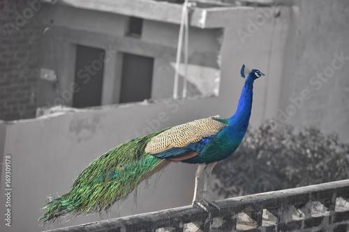 Fotobehang Pauw beautifull peacock