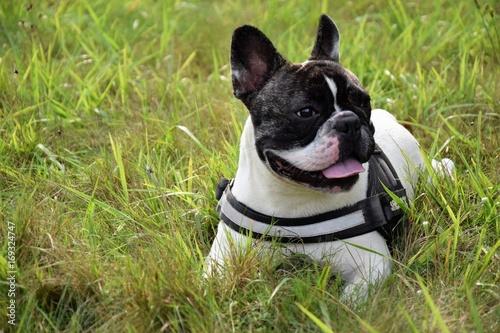 Fotobehang Franse bulldog Bouledogue français
