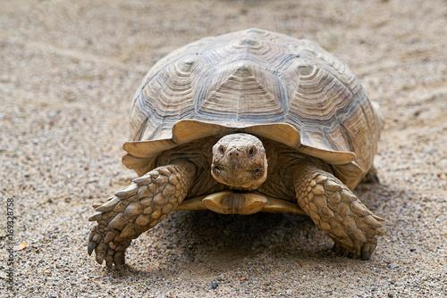 Aluminium Schildpad Spornschildkröte im Sand