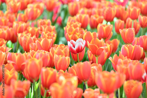 Fotobehang Tulpen Tulip. Beautiful bouquet of tulips. colorful tulips. tulips in spring,colourful tulip with blurred background