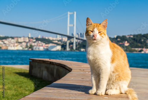 Cat and Bosporus bridge in Istanbul Poster