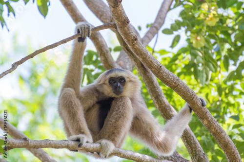 Staande foto Kameleon White gibbon monkey.