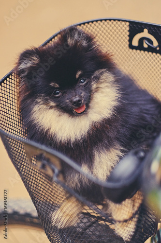 Black and yellow Spitz dog in a basket.
