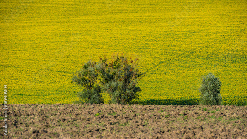Fotobehang Honing Field of sunflowers and plowed land.