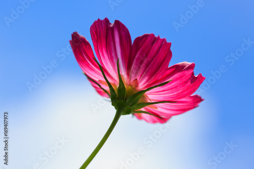 pink-cosmos-flower-isolated-on-blue-sky