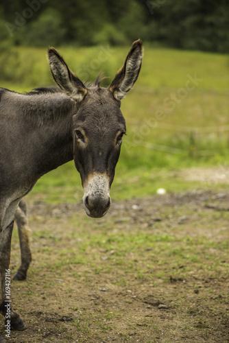Juliste Donkey