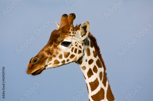 Profile portrait of a reticulated giraffe Poster