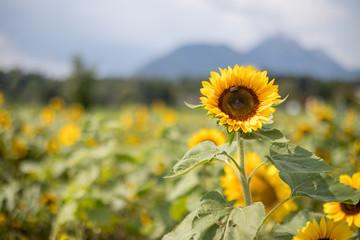 Sonnenblume in Sonnenblumenfeld, Textfreiraum