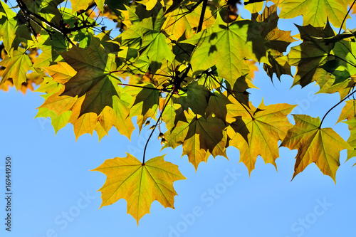 Maple leaves closeup on blue sky background
