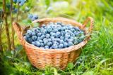 Blueberry basket. Ripe Bilberries in wicker basket.
