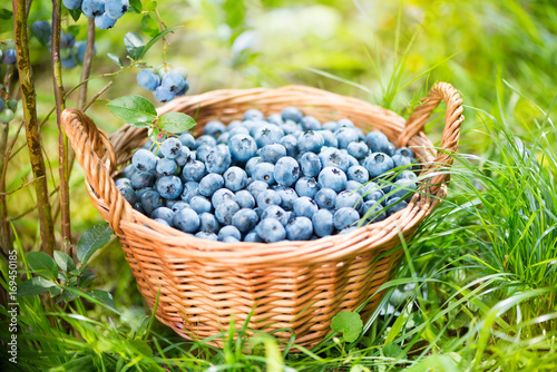 Blueberry basket. Ripe Bilberries in wicker basket.