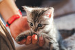 beautiful little gray kitten with blue eyes and human hand