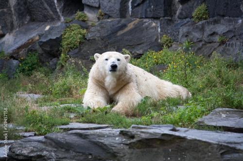 Fotobehang Ijsbeer resting polar bear