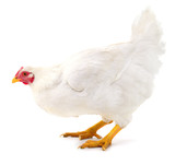 White hen isolated. - 169458182
