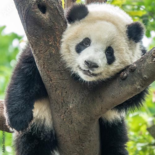 Aluminium Bamboe Portrait of a panda bear